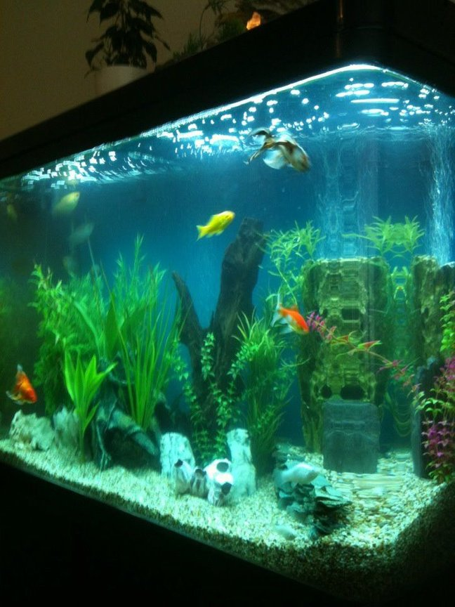 125 gallons freshwater fish tank (mostly fish and non-living decorations) - My 3ft by 2ft tank