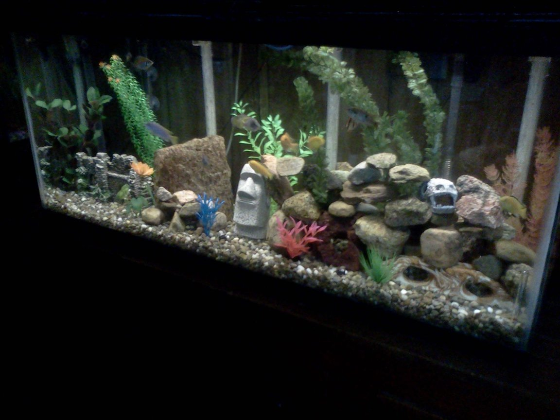55 gallons freshwater fish tank (mostly fish and non-living decorations) - African cichlids