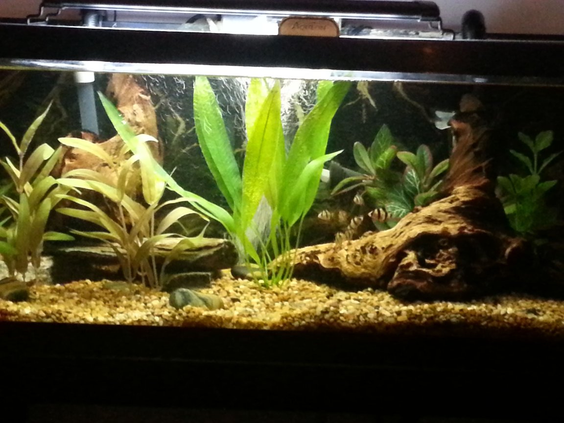 30 gallons freshwater fish tank (mostly fish and non-living decorations) - 30 gallon. Tiger barbs
