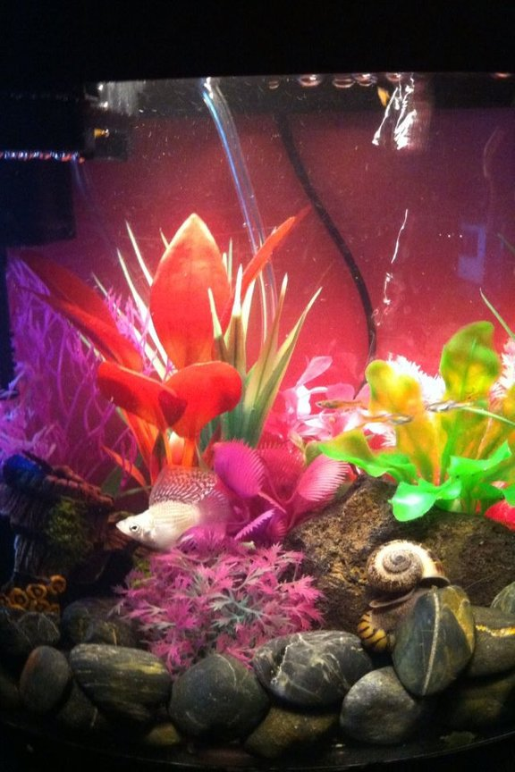 5 gallons freshwater fish tank (mostly fish and non-living decorations) - Molly