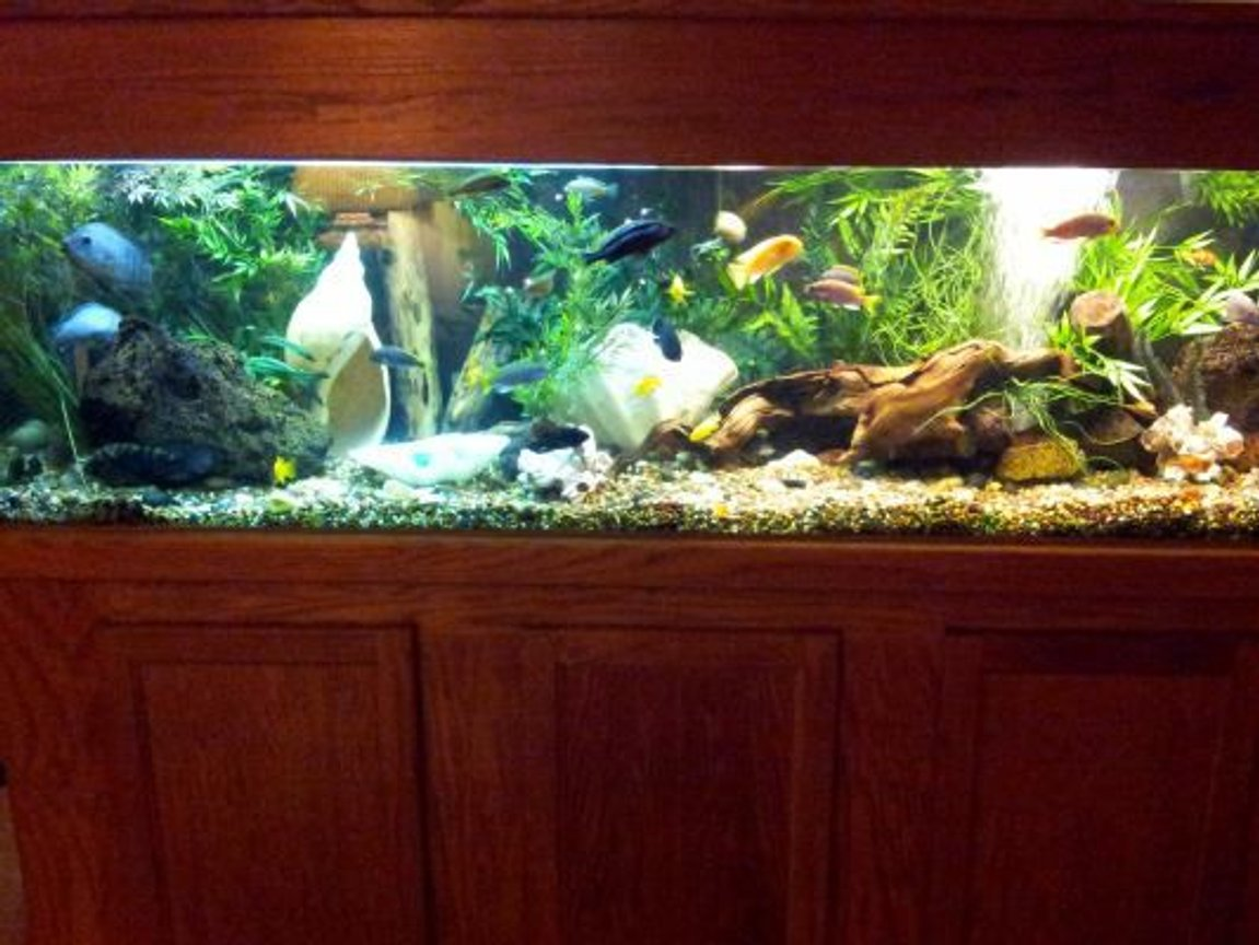 125 gallons freshwater fish tank (mostly fish and non-living decorations) - 125 Gal african/south american cichlids.