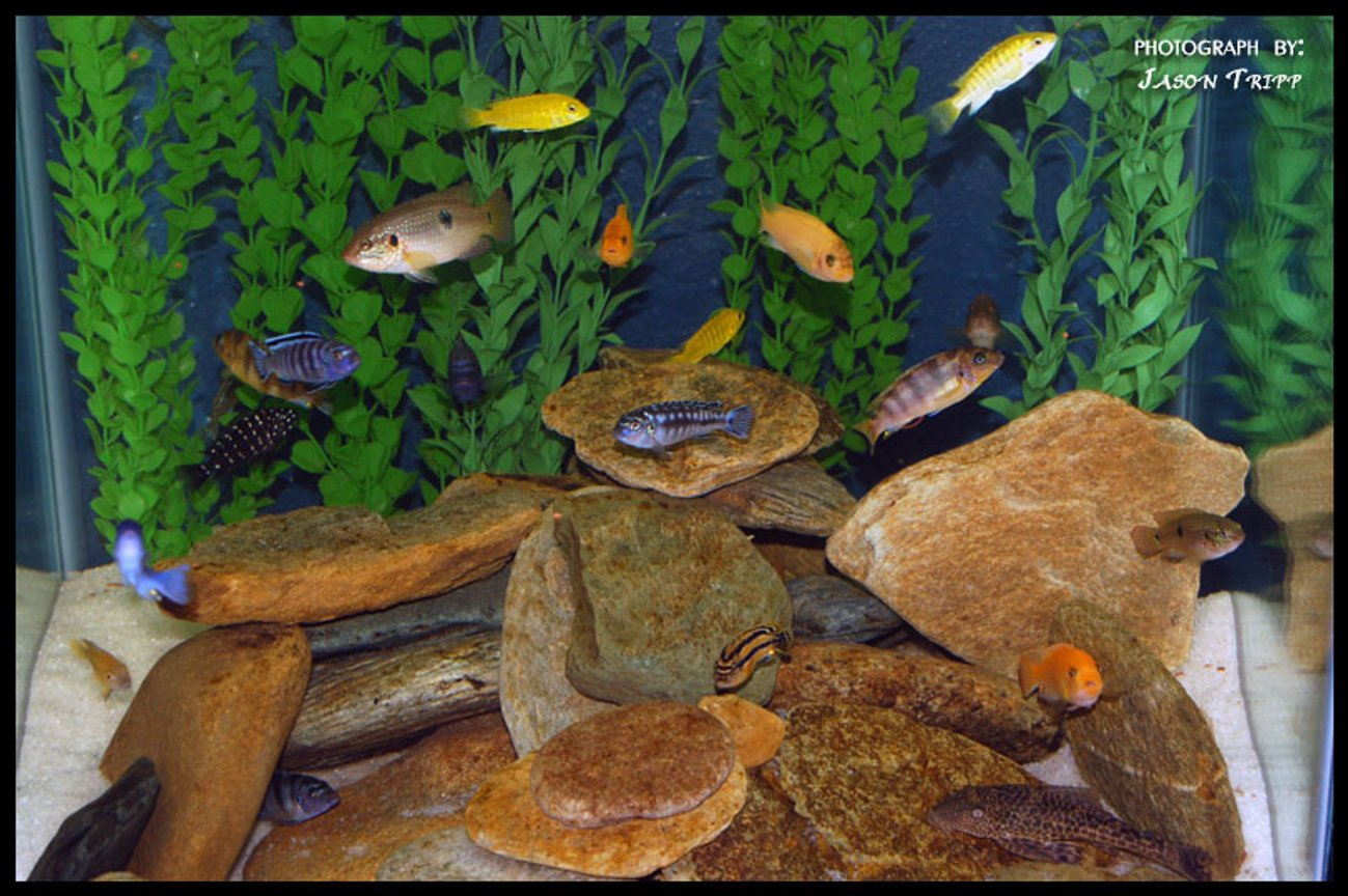 47 gallons freshwater fish tank (mostly fish and non-living decorations) - 47 Gallon African Cichlid Tank.