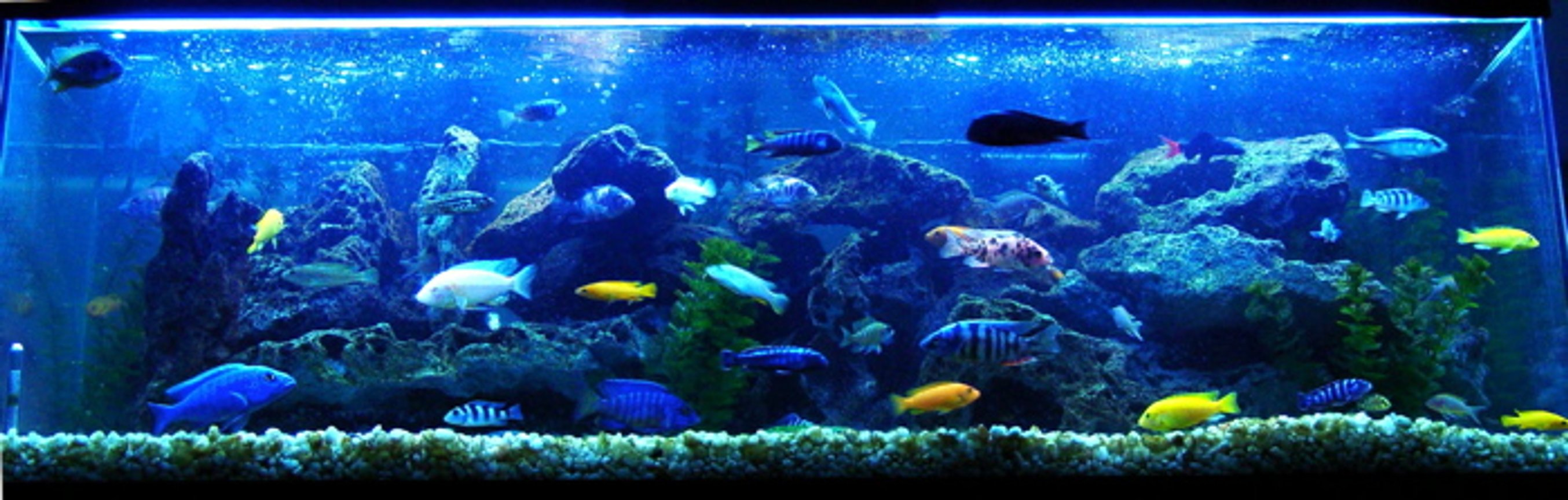 60 gallons freshwater fish tank (mostly fish and non-living decorations) - My main African mixed tank is doing very well. Several breedings have been happening constantly, and keeping me very busy as well. I added a couple more Synodontis Multipunctatus (My all time favorite Cat) and I'm hoping for some spawns from them. My Electric Blue is holding again for her second time, I can't wait for them! I'm in the works of getting my father's tank to replace this one, just gotta figure out how to get it over to my place. My Electric Blue couple just released 42 fry, plus the 3 babies I could only save from the first batch. I can't wait for these guys to get bigger.