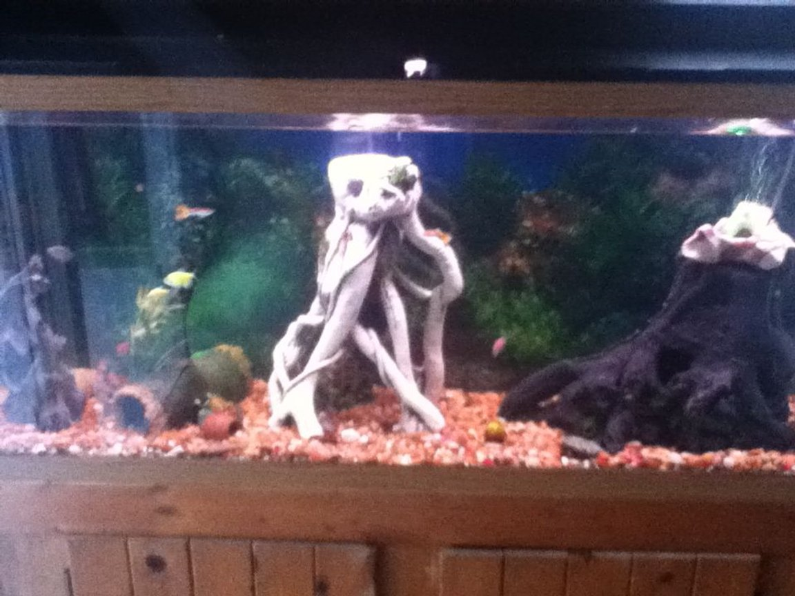 55 gallons freshwater fish tank (mostly fish and non-living decorations) - my newest tank