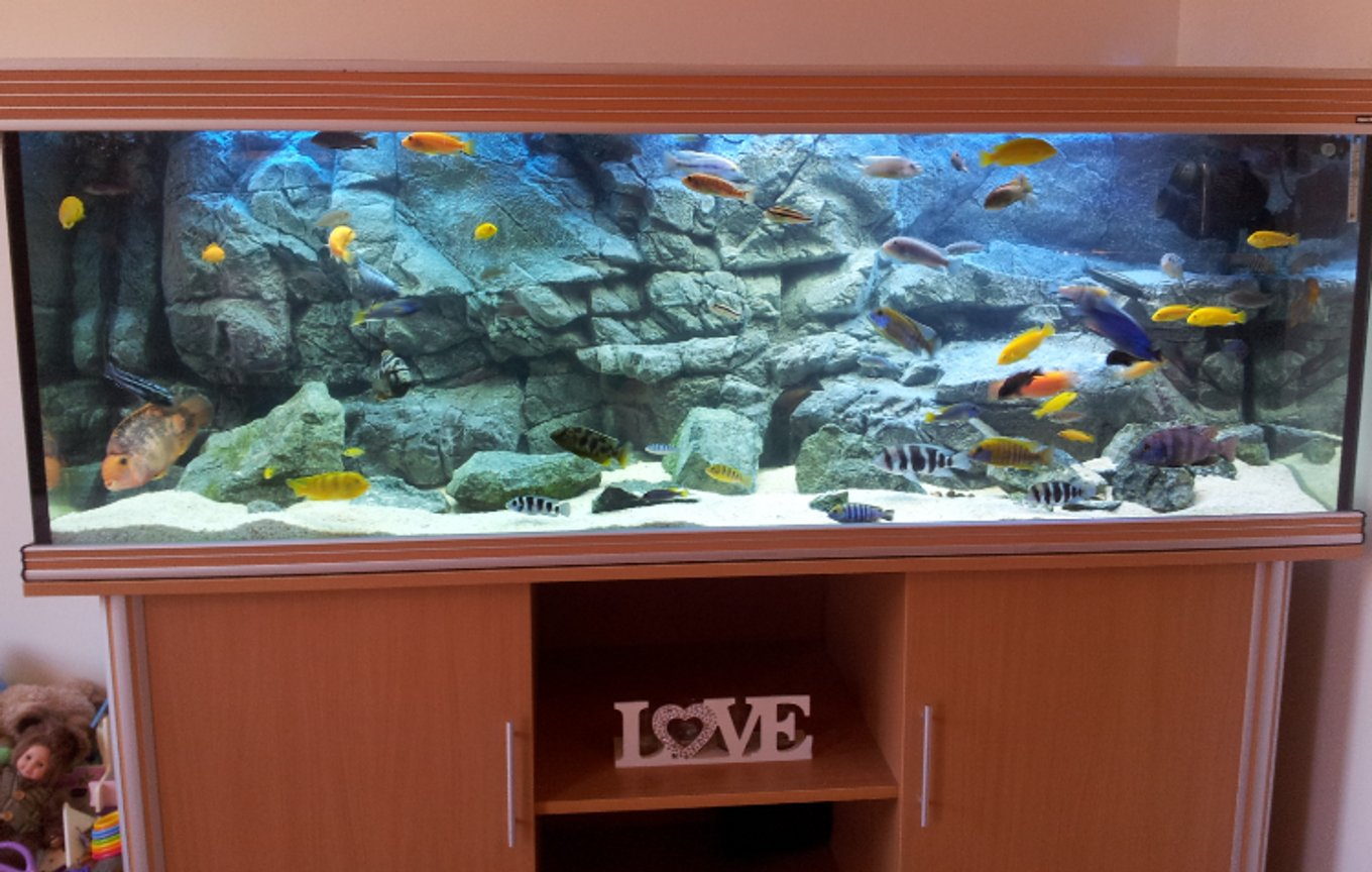 125 gallons freshwater fish tank (mostly fish and non-living decorations) - 600 litre African Cichlid tank with Pangea background