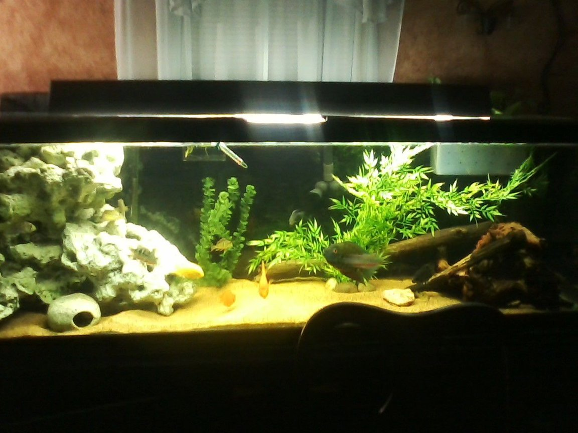 135 gallons freshwater fish tank (mostly fish and non-living decorations) - 135 GALLON S/C AMERICAN CICHLIDS