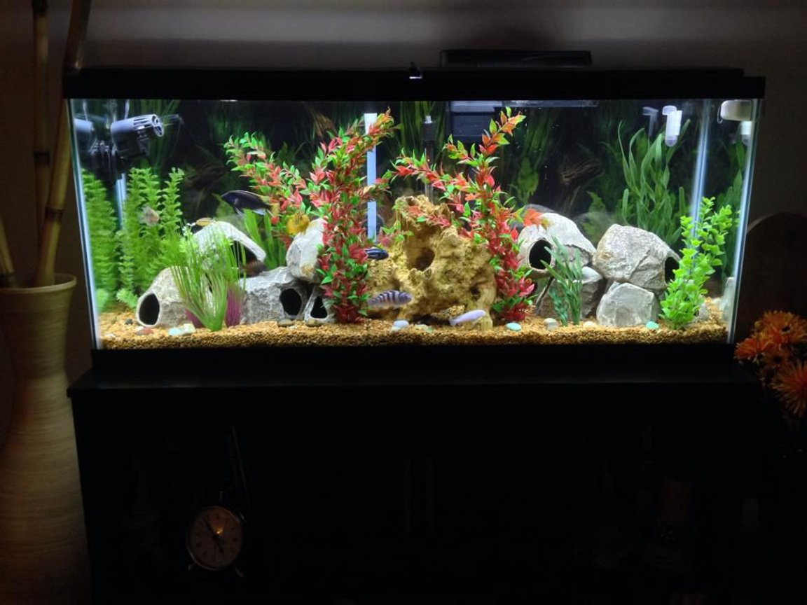55 gallons freshwater fish tank (mostly fish and non-living decorations) - 55 gallon African Cichlid aquarium