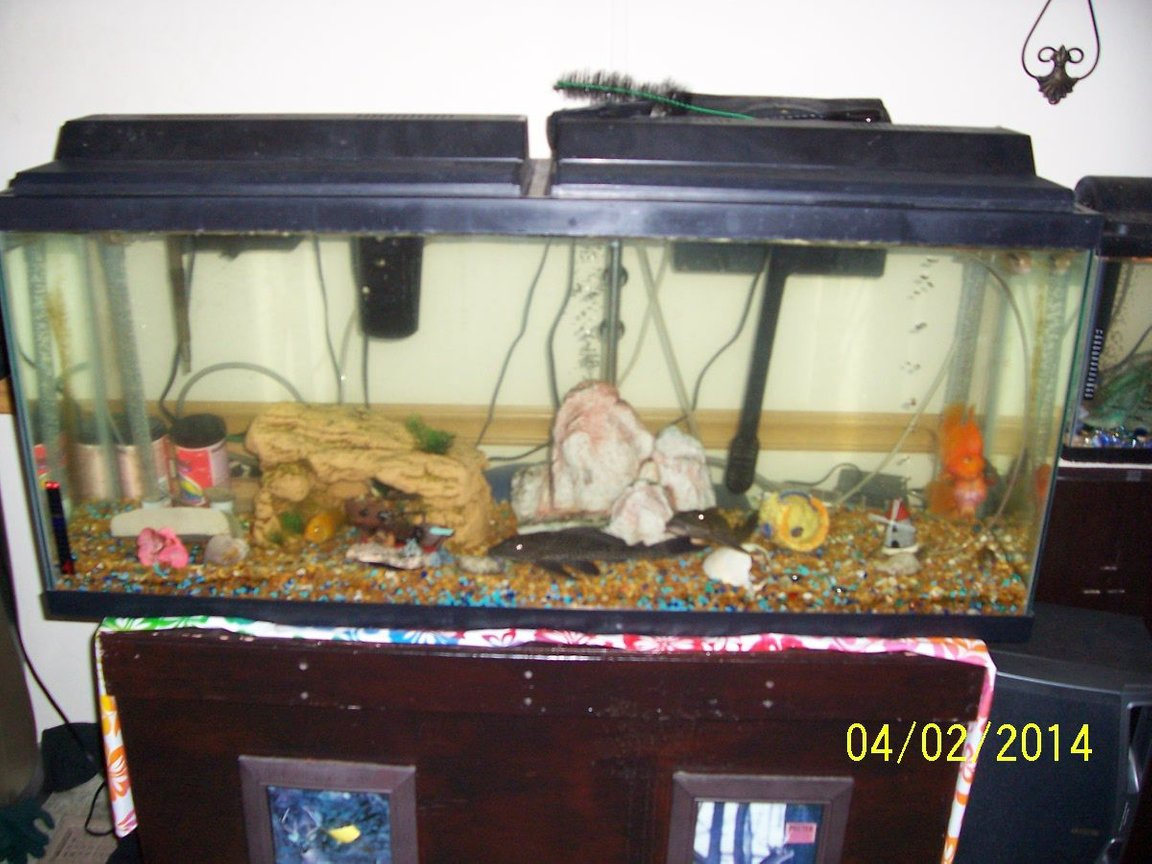 65 gallons freshwater fish tank (mostly fish and non-living decorations) - Main tank with various fish.