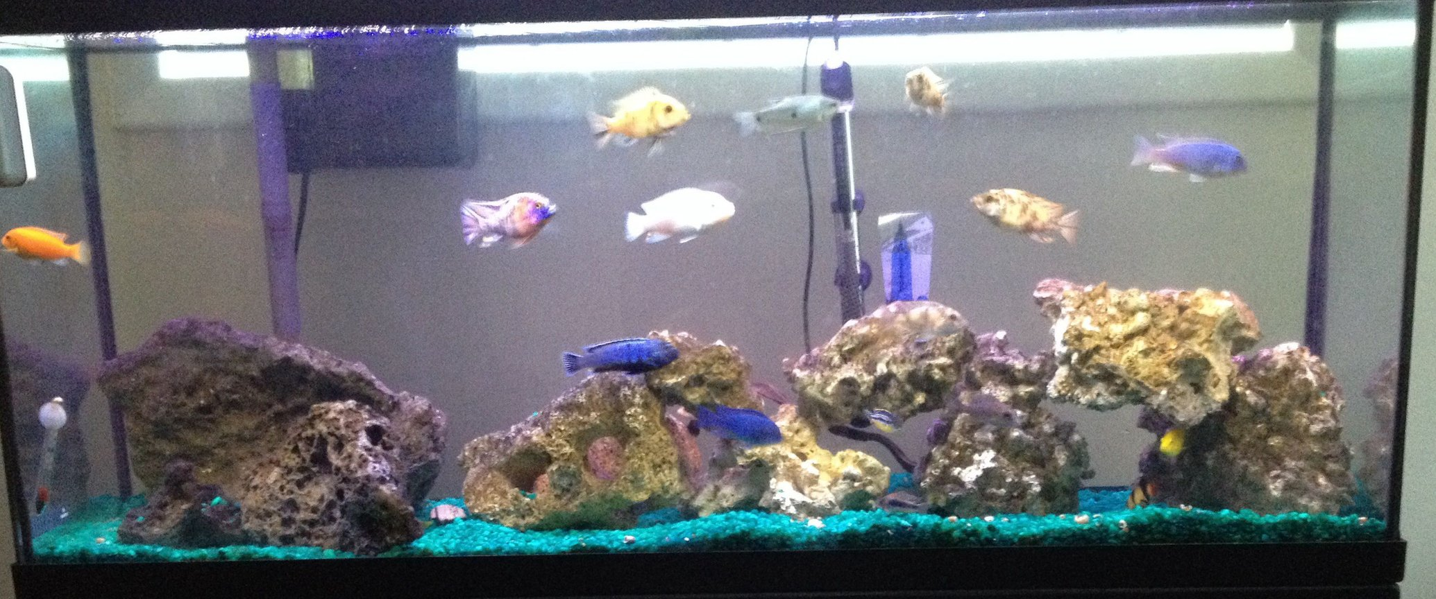 55 gallons freshwater fish tank (mostly fish and non-living decorations) - African Cichlid Tank