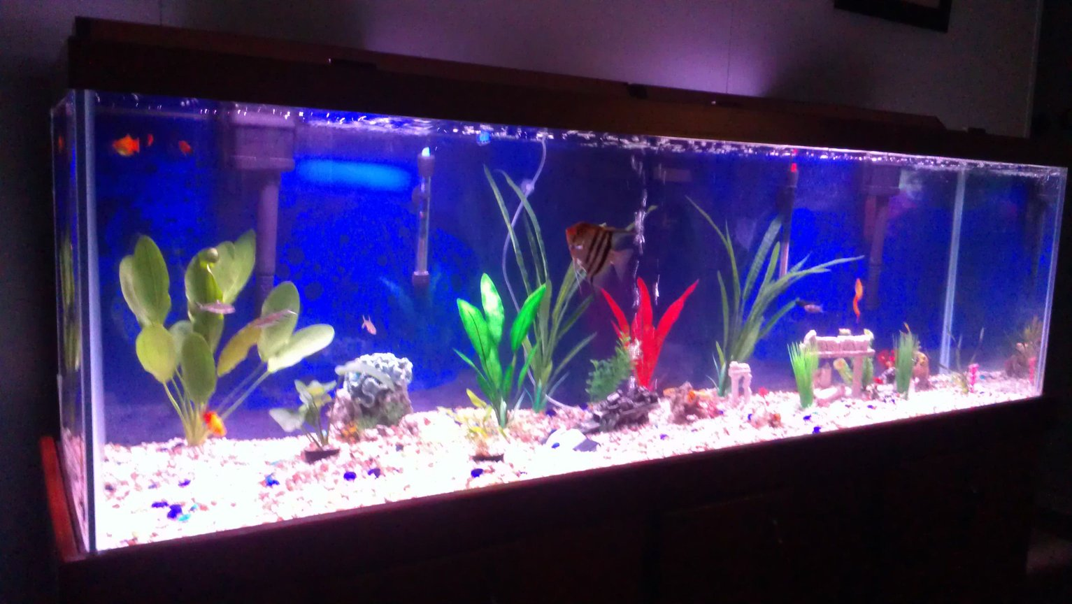 135 gallons freshwater fish tank (mostly fish and non-living decorations) - Freshwater, 3 live plants on left side of tank. Deep blue background. 24 peaceful fish.