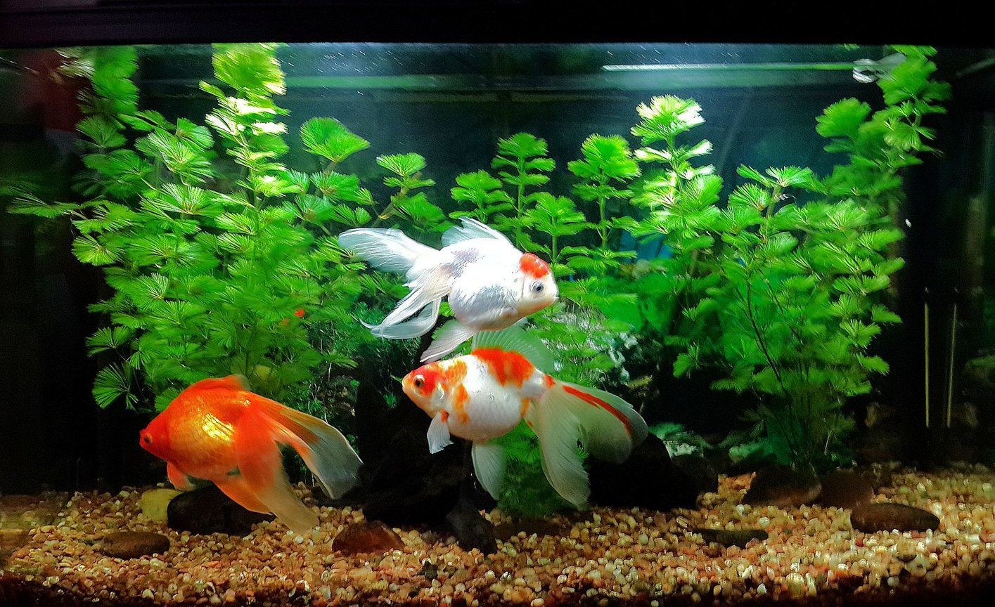32 gallons freshwater fish tank (mostly fish and non-living decorations) - My 32 gallons tank. 3 goldfish and 1 corydoras.
