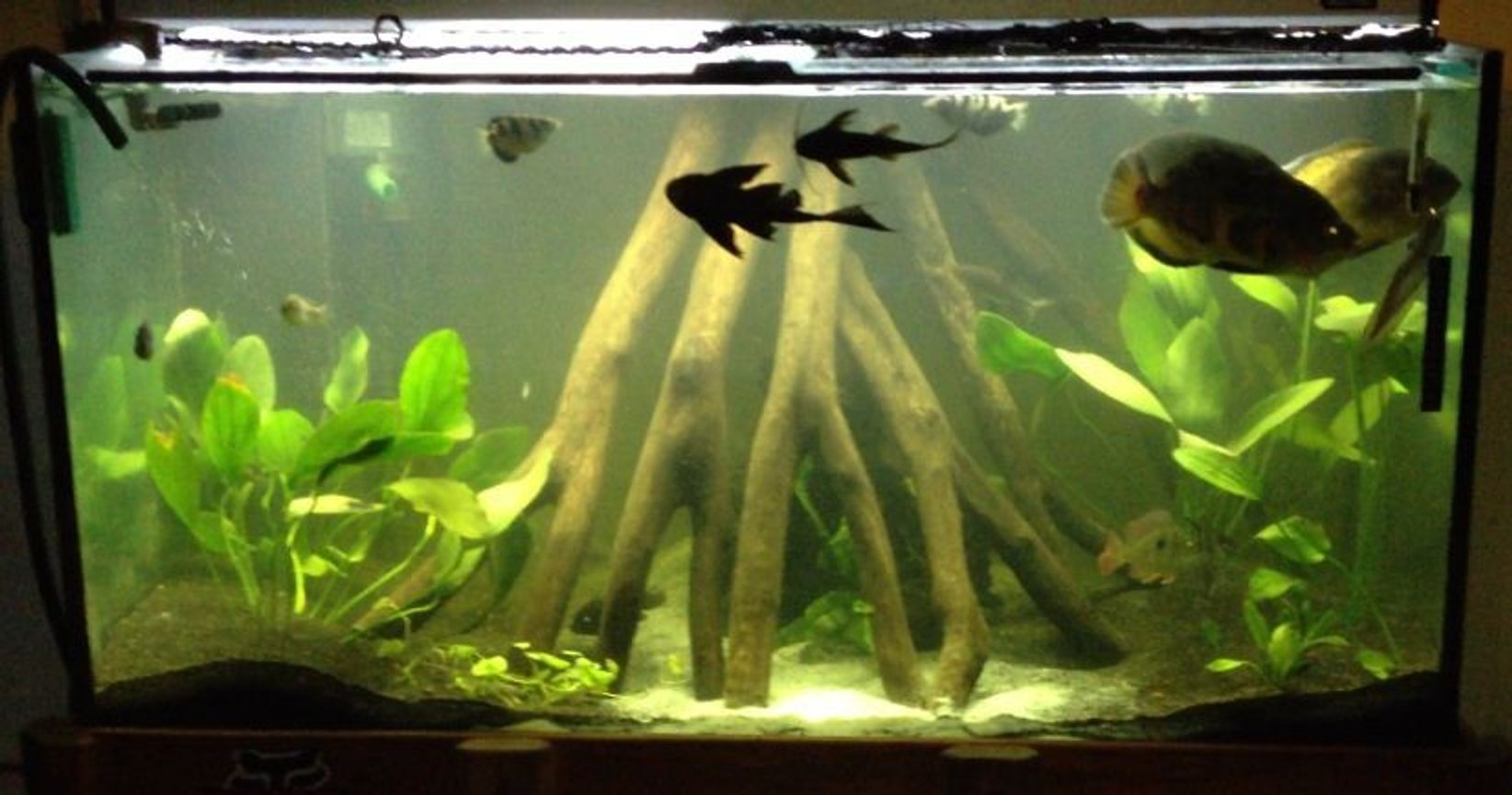 240 gallons freshwater fish tank (mostly fish and non-living decorations) - My display tank