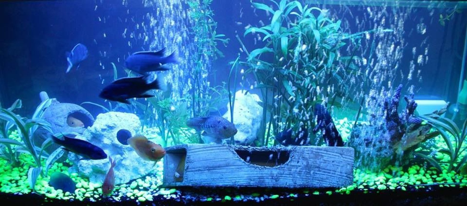 60 gallons freshwater fish tank (mostly fish and non-living decorations) - Happy 1st month!