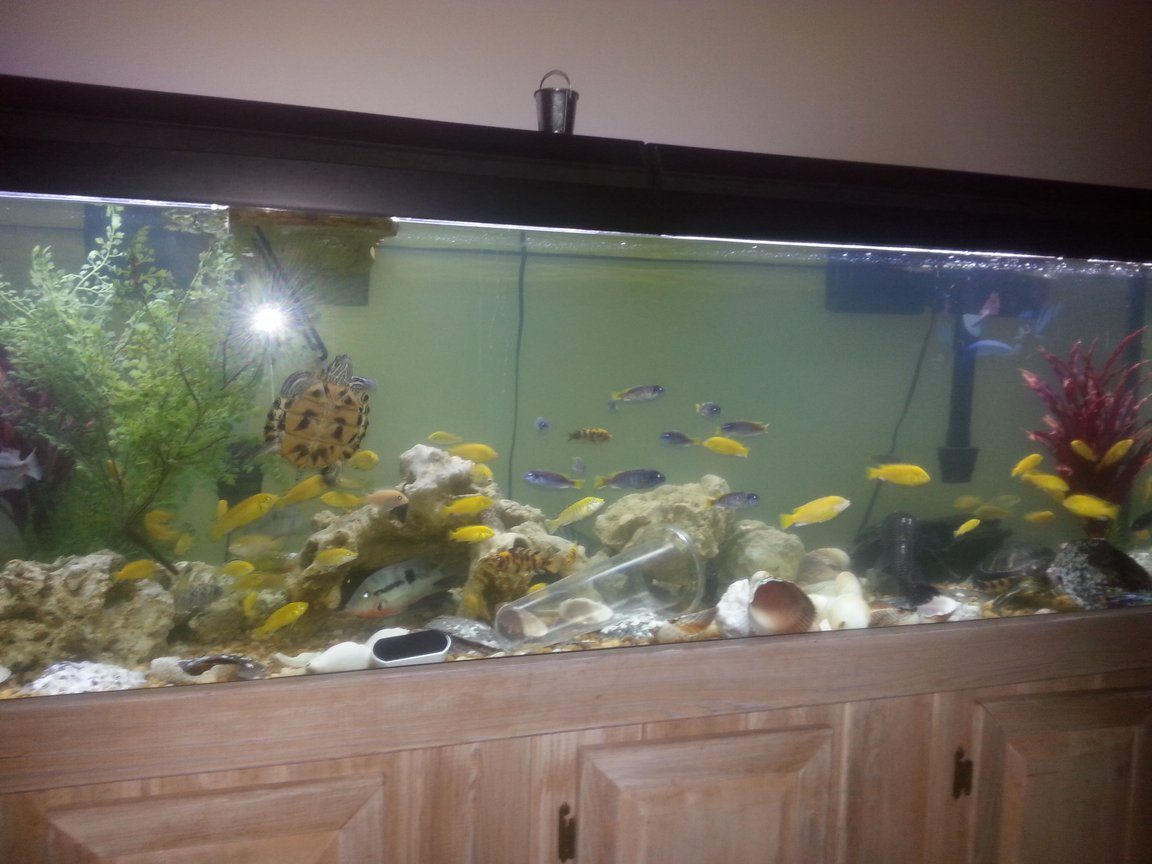 126 gallons freshwater fish tank (mostly fish and non-living decorations) - My tank