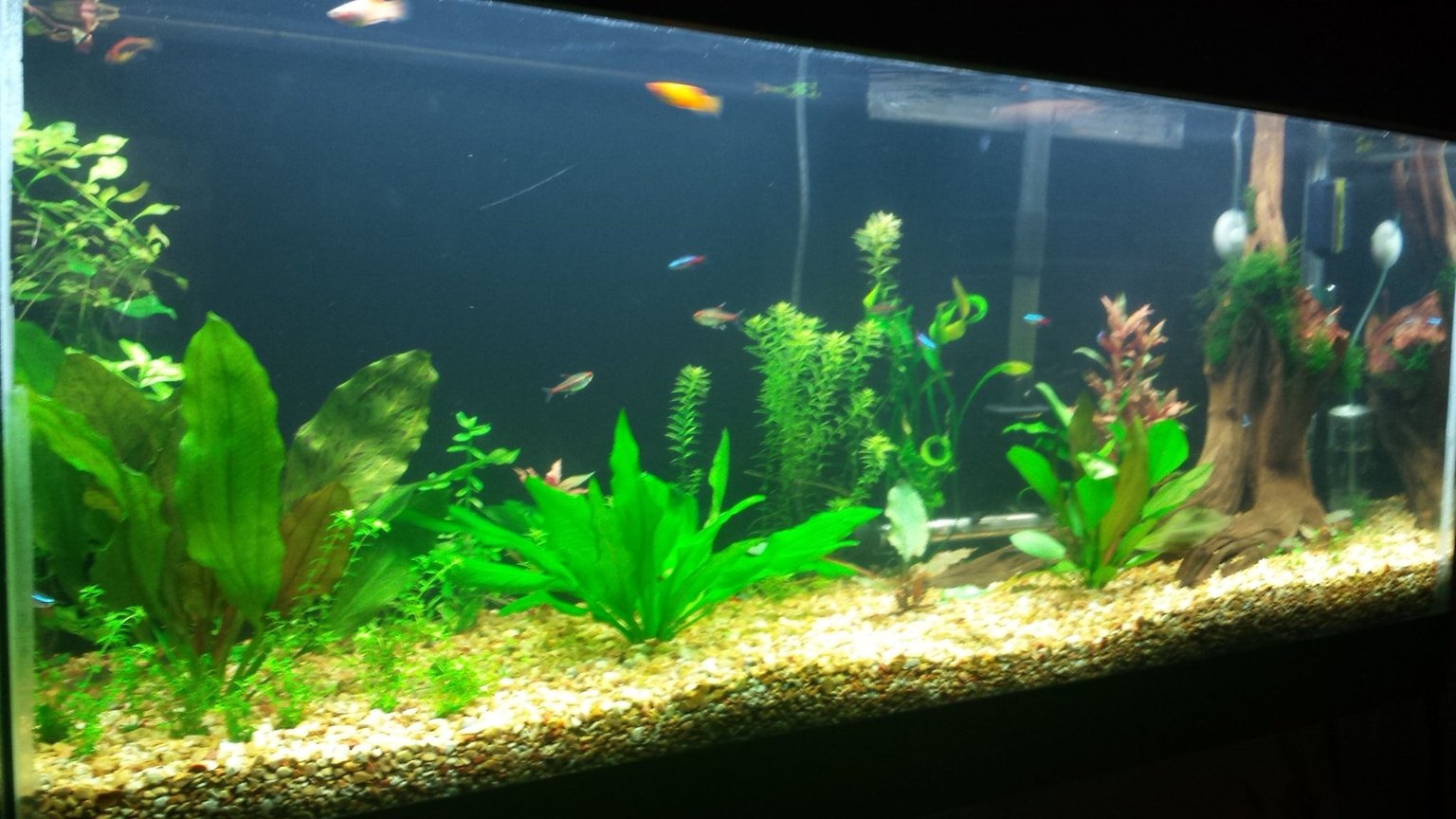 55 gallons freshwater fish tank (mostly fish and non-living decorations) - 1 month after setup and still in progress