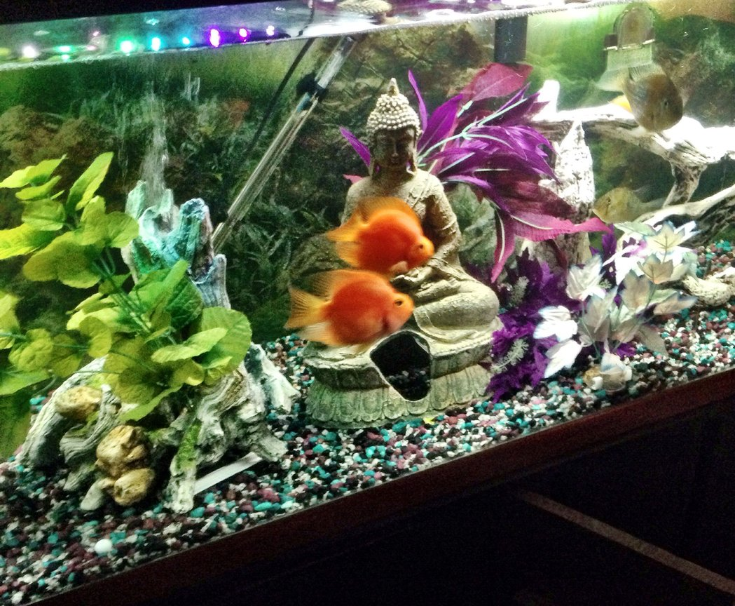125 gallons freshwater fish tank (mostly fish and non-living decorations) - Two blood parrots