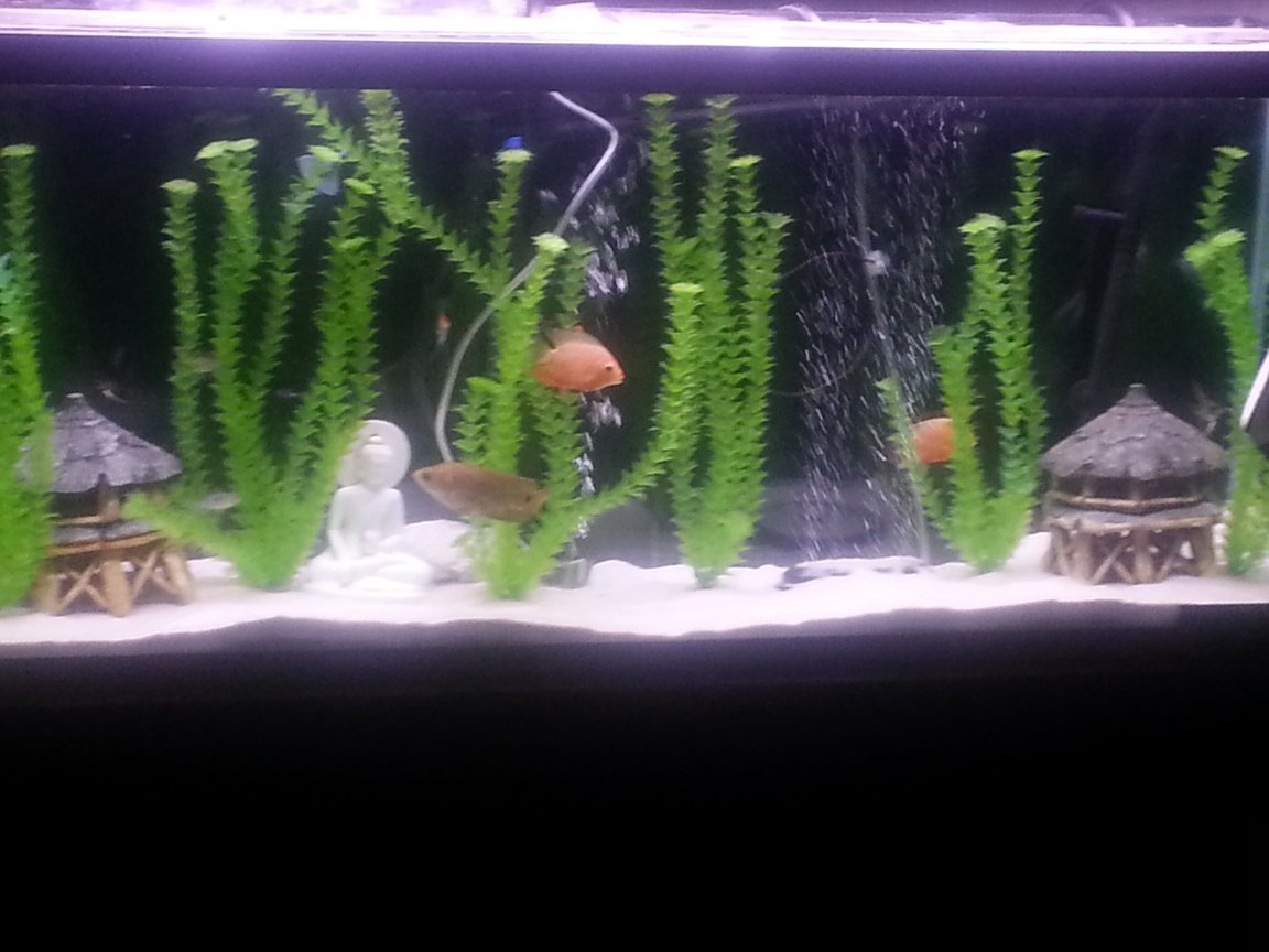 55 gallons freshwater fish tank (mostly fish and non-living decorations) - Freshwater 55 gallon with white sand and fake plants...
