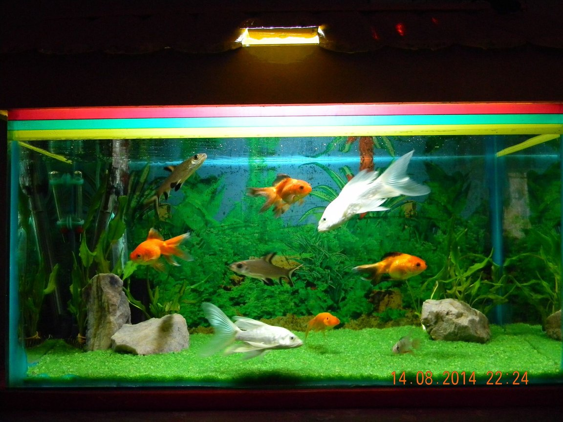 10 gallons freshwater fish tank (mostly fish and non-living decorations) - 2 BALA SHARK, 2 Milky koi carp, 4 Loaches, 3 Gold fish