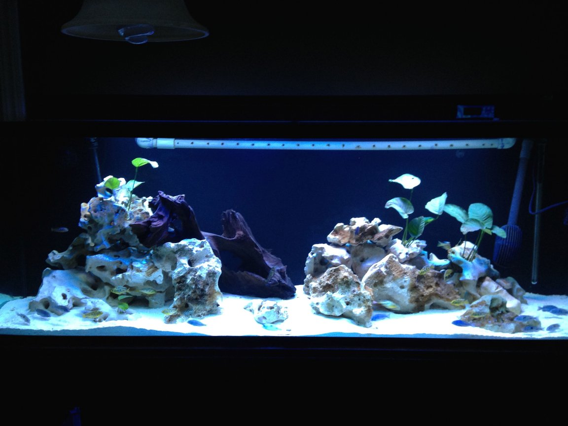"150 gallons freshwater fish tank (mostly fish and non-living decorations) - 150gallon with C. Moorii, N. Venestus, and Elongatus chewere. Anubias with limestone rock and aragonite sand. Running FX5 and additional media reactors. 60"" T5x4 lighting."