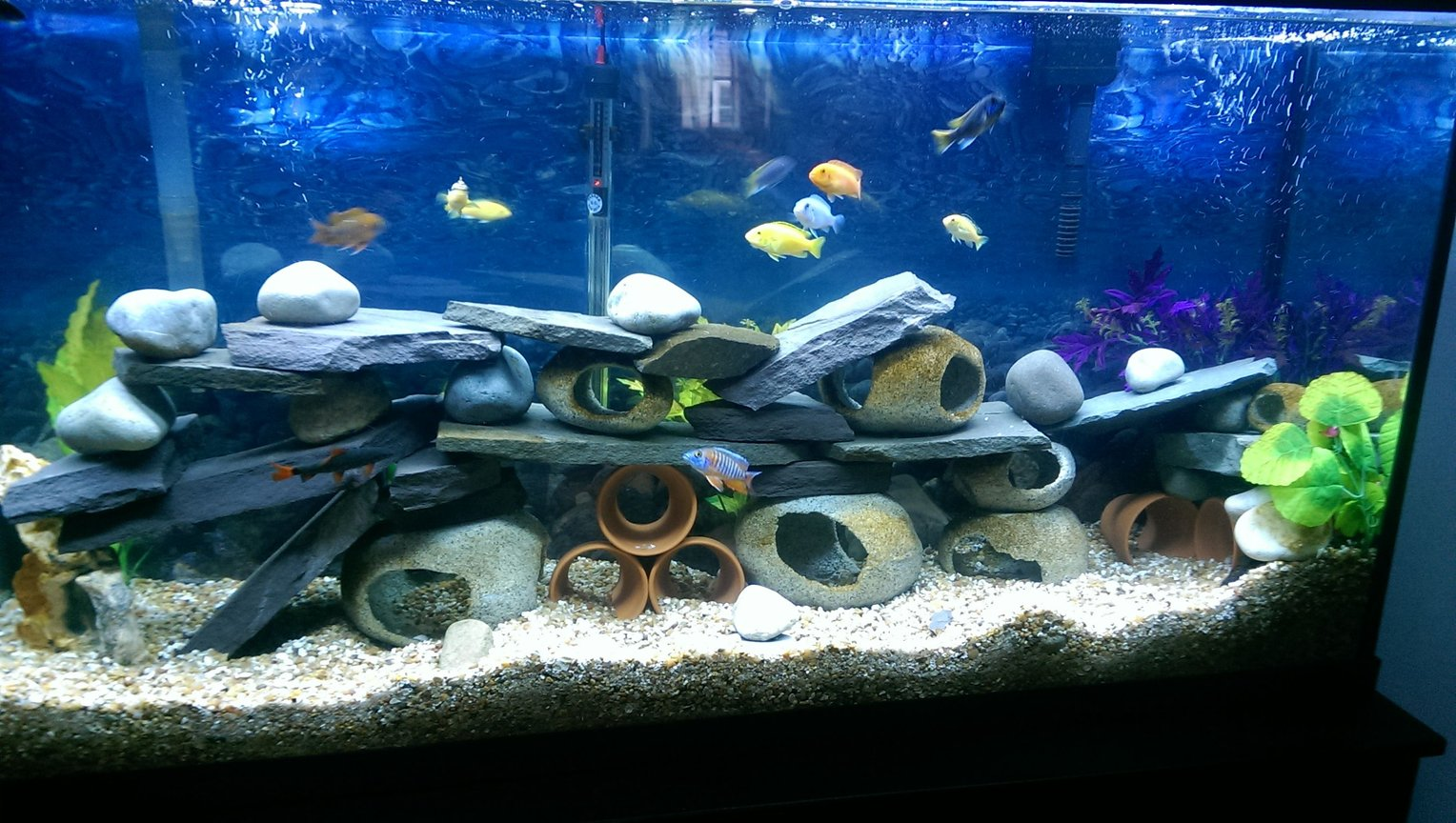 75 gallons freshwater fish tank (mostly fish and non-living decorations) - Cichlid hotel
