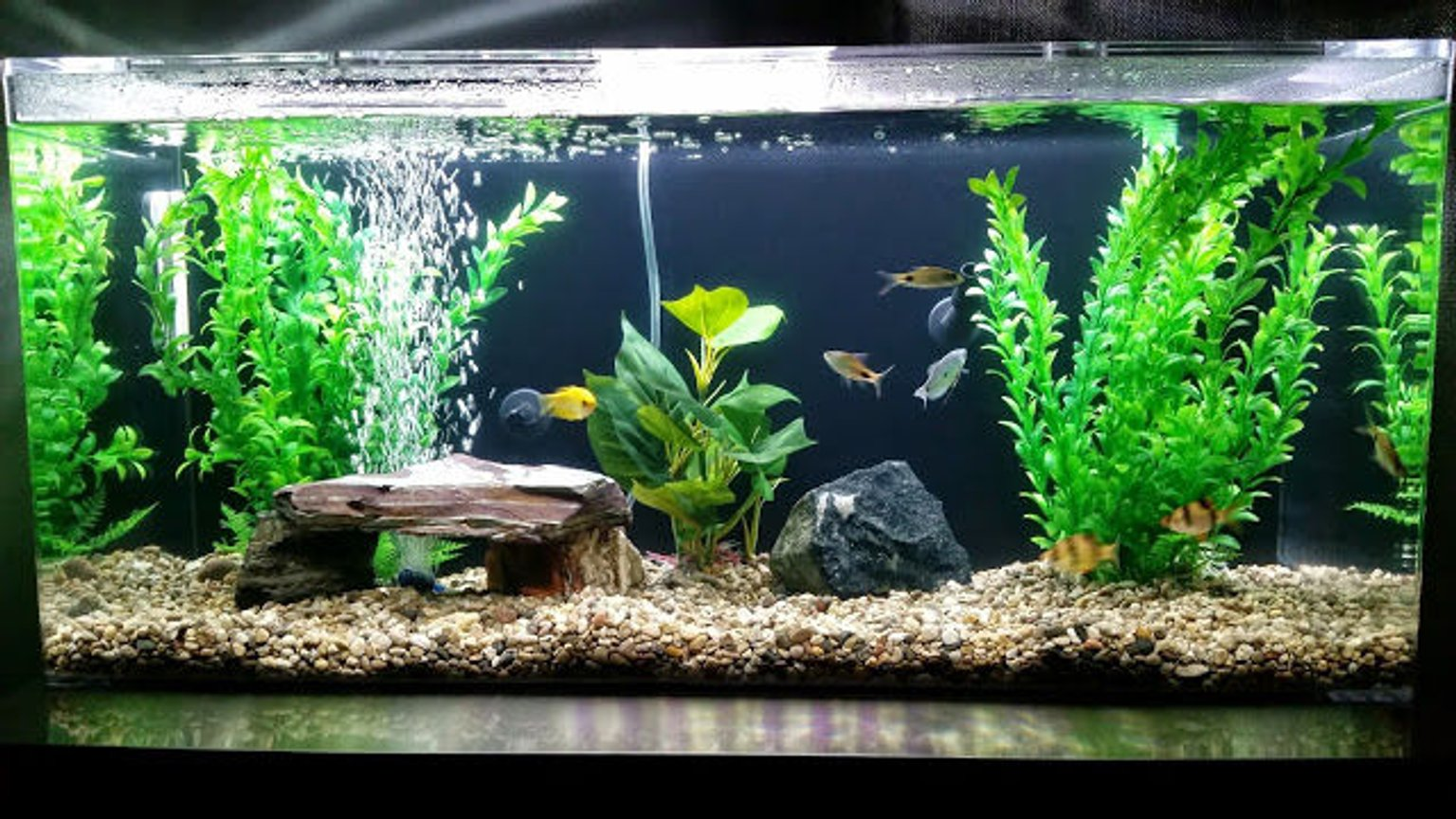 35 gallons freshwater fish tank (mostly fish and non-living decorations) - My tank!