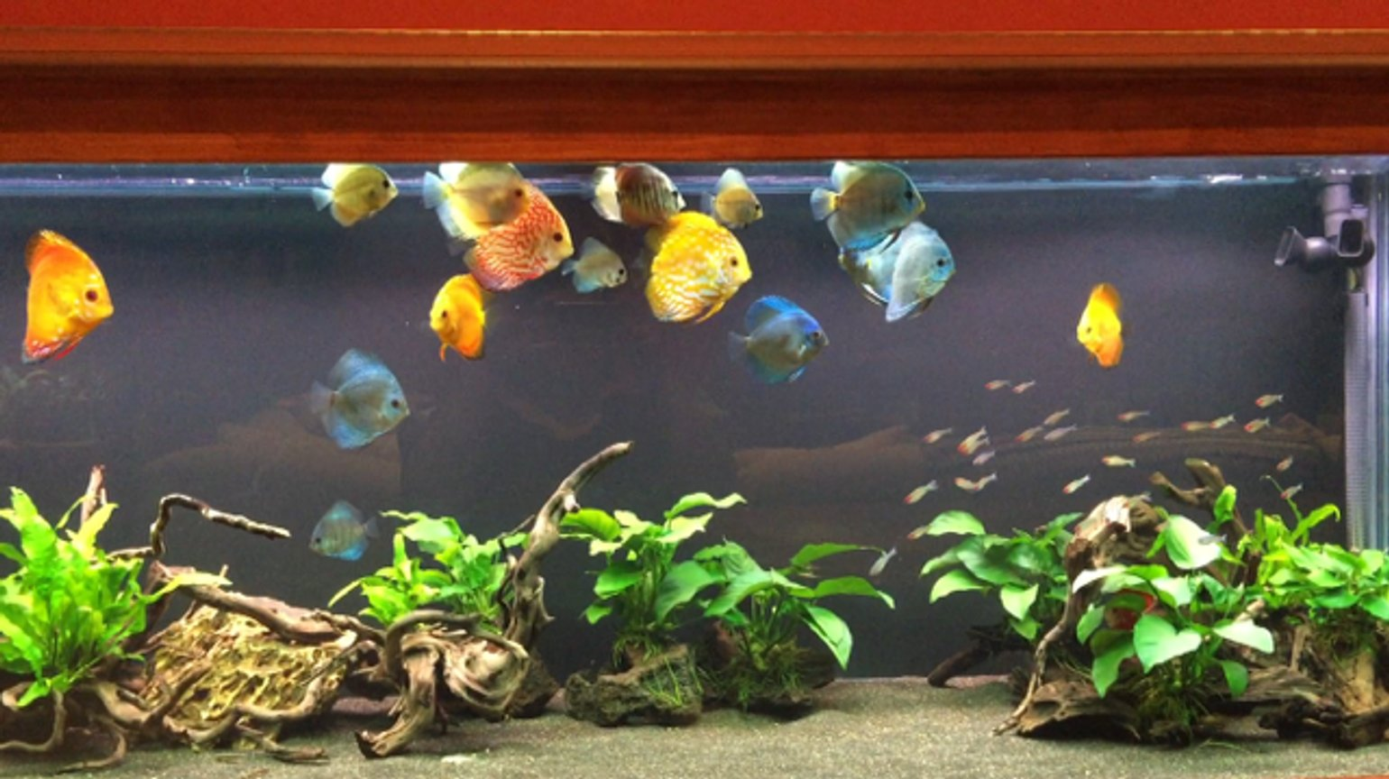 180 gallons freshwater fish tank (mostly fish and non-living decorations) - 180 Gallon Discus