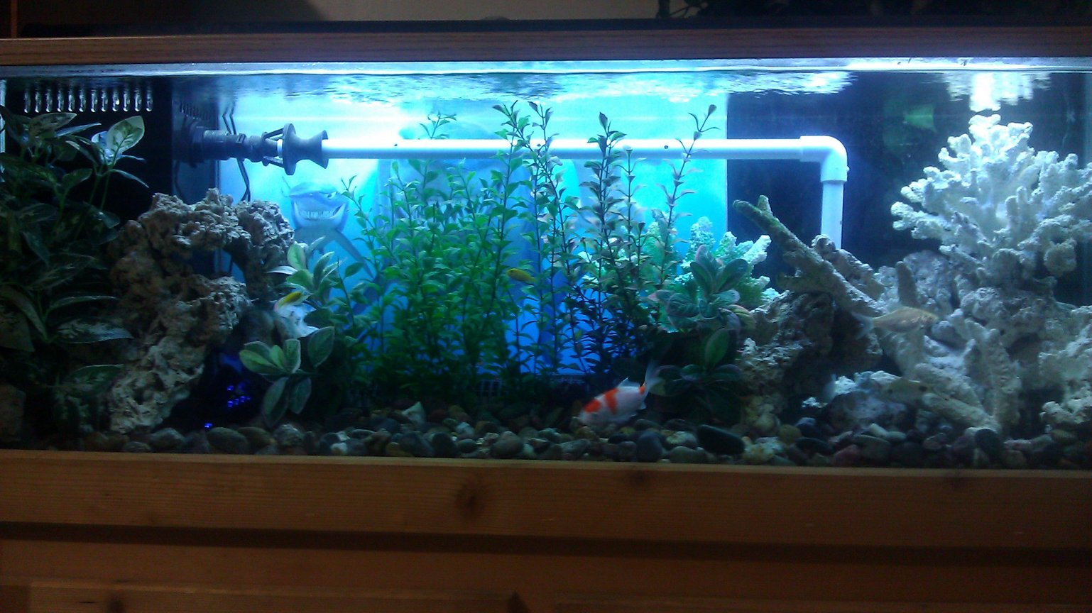 55 gallons freshwater fish tank (mostly fish and non-living decorations) - 55 gallon fish tank with electric yellow, cory, koi and barbs