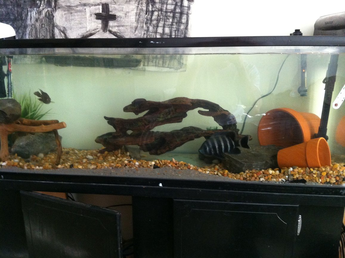 75 gallons freshwater fish tank (mostly fish and non-living decorations) - Butti and flowerhorn :)