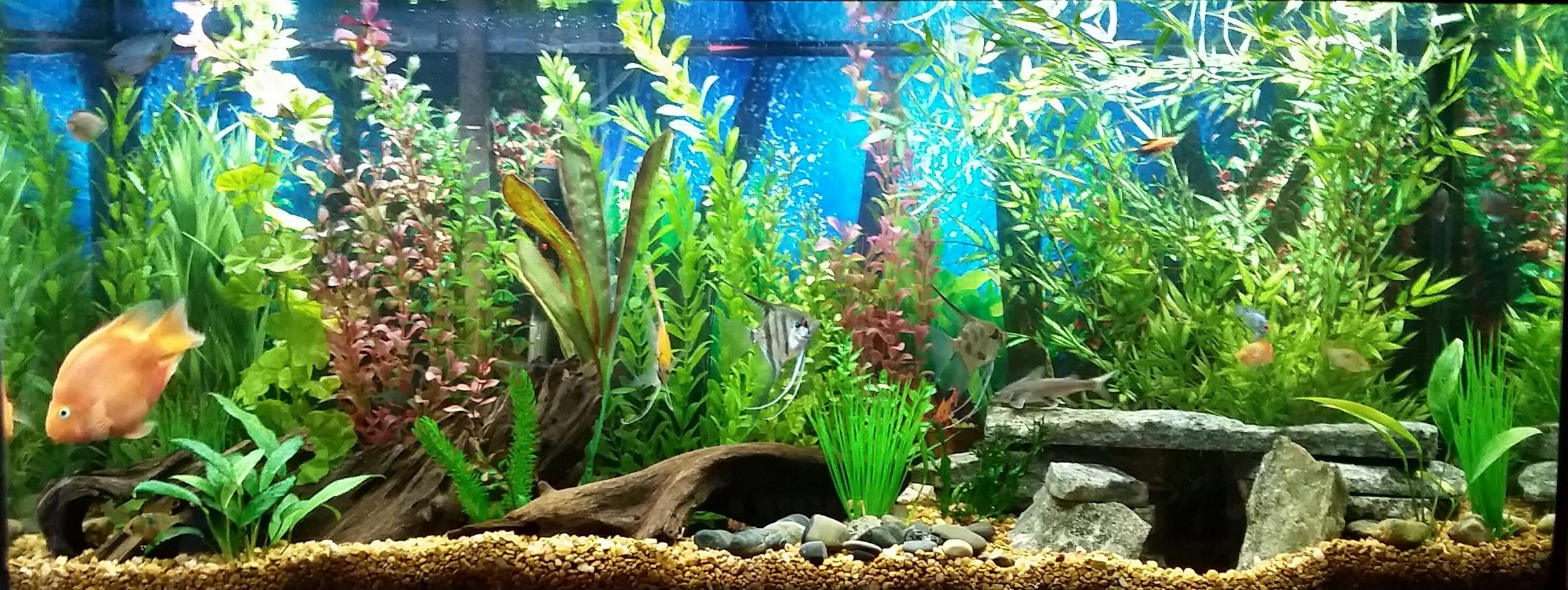 55 gallons freshwater fish tank (mostly fish and non-living decorations) - 55 gallon freshwater tropical fish tank. Fish in my tank are: Electric Blue Cichlid, German Blue Ram, Blood Parrot, Blue Gourami, Gold Gourami, Marble Veil Angel, Assorted Veil Angel, Upside Down Catfish, Pictus Cat, Rainbow Shark, Otocinclus Catfish, Red Minor Serpae Tetra, Red Wag Swordtail, Red Platy, Silver Hatchet, Columbian Shark, African Butterfly fish.