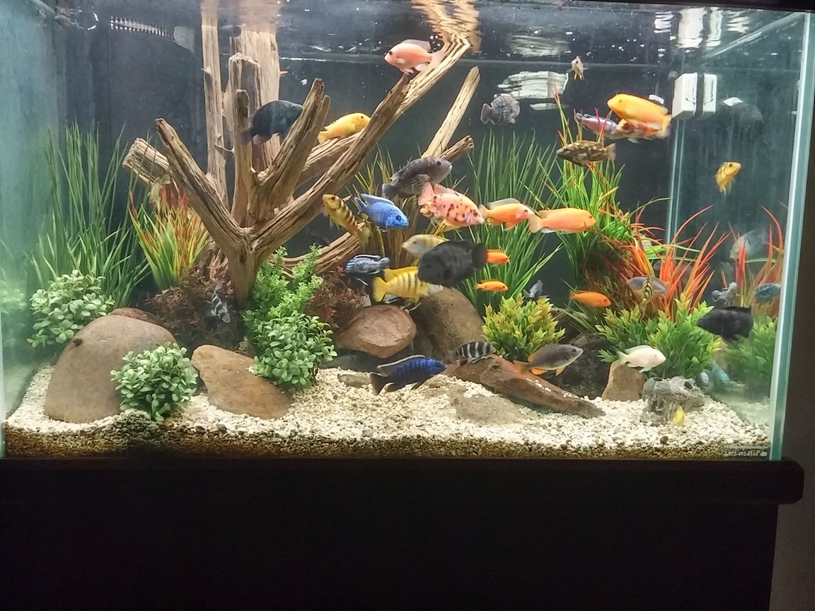 150 gallons freshwater fish tank (mostly fish and non-living decorations) - Mixed African cichlid tank