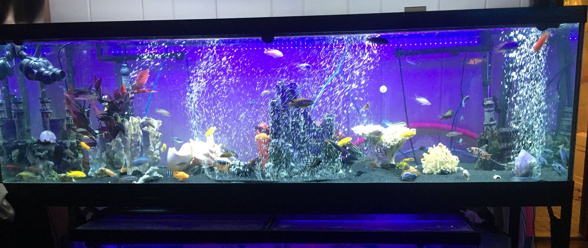 125 gallons freshwater fish tank (mostly fish and non-living decorations) - 125 African cichlid tank