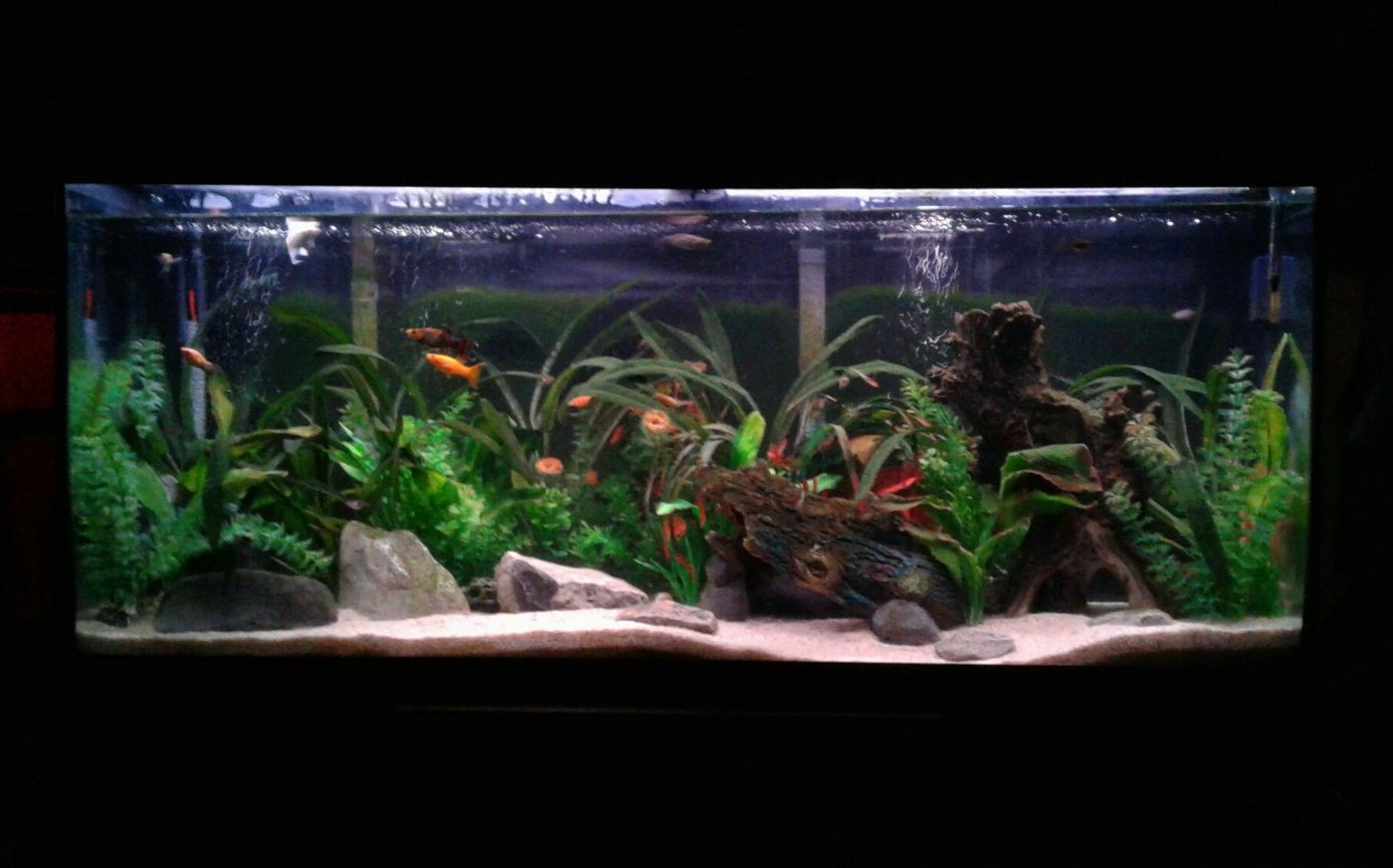 55 gallons freshwater fish tank (mostly fish and non-living decorations) - 55 gallon community artificially planted. Home to weather (dojo) loaches, peppered loaches, Bolivian rams, assorted Mollies, harliquin rasboras, black neon tetra, albino Cory cats, and mystery snails