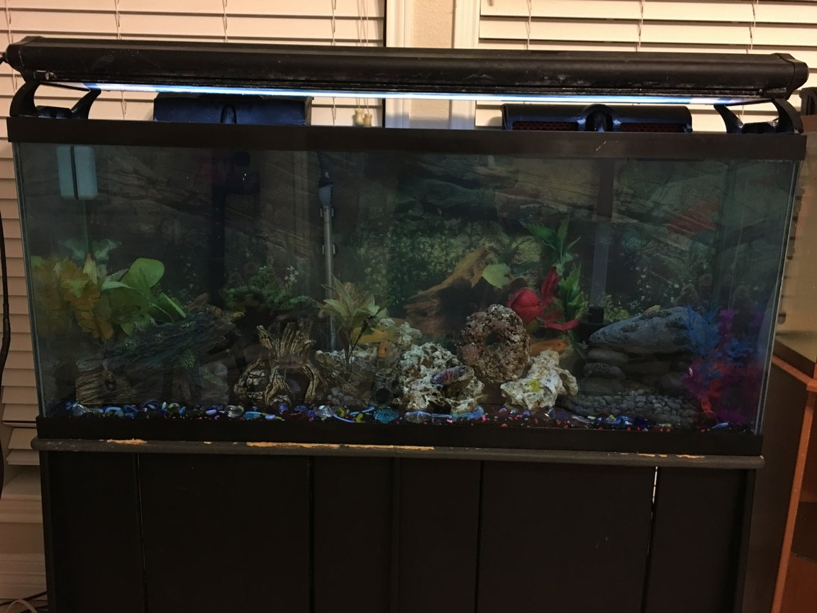 50 gallons freshwater fish tank (mostly fish and non-living decorations) - My Adult cichlid tank.