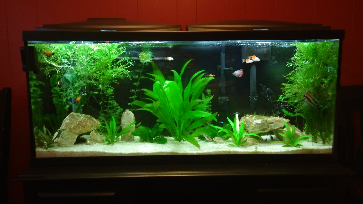 55 gallons freshwater fish tank (mostly fish and non-living decorations) - Our first aquarium