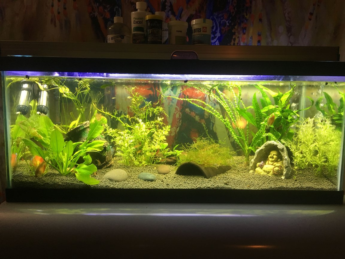 100 gallons freshwater fish tank (mostly fish and non-living decorations) - Dwarf Gourami tank