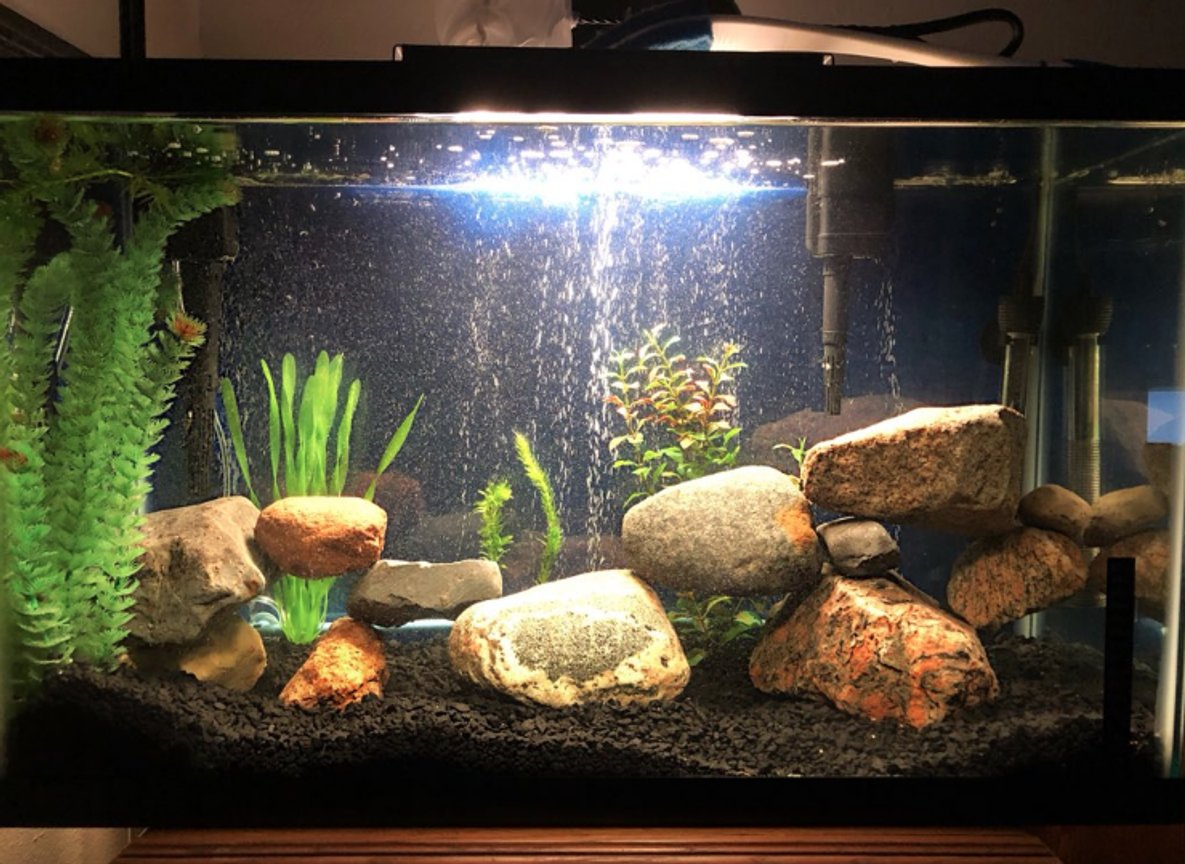 29 gallons freshwater fish tank (mostly fish and non-living decorations) - 29 gallon jack dempsey and green terror tank (fish are hiding)