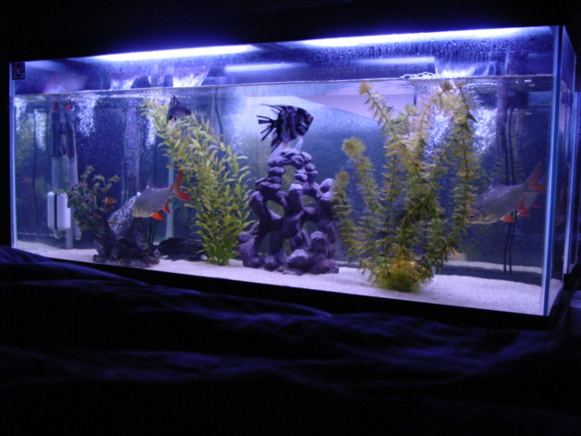 60 gallons freshwater fish tank (mostly fish and non-living decorations) - 60 gallon tank with 20 pounds of white sand 2 60 gallon top fin fliters. 1 angle, 2 tin foil barbs, 1 bala shark, 1 geromi, 1 placo