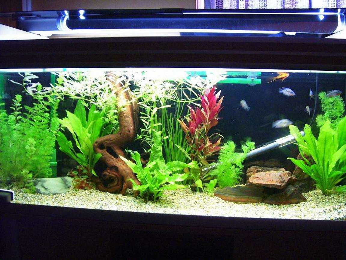 50 gallons freshwater fish tank (mostly fish and non-living decorations) - young firemouth