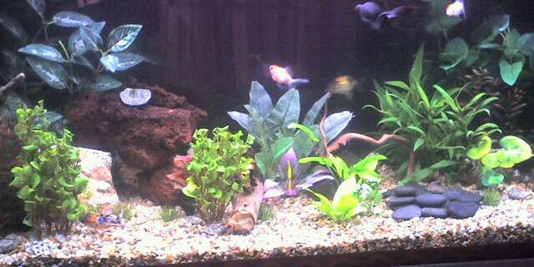 50 gallons freshwater fish tank (mostly fish and non-living decorations) - Freshwater Goldfish tank w/ live & artificial plants & rocks.