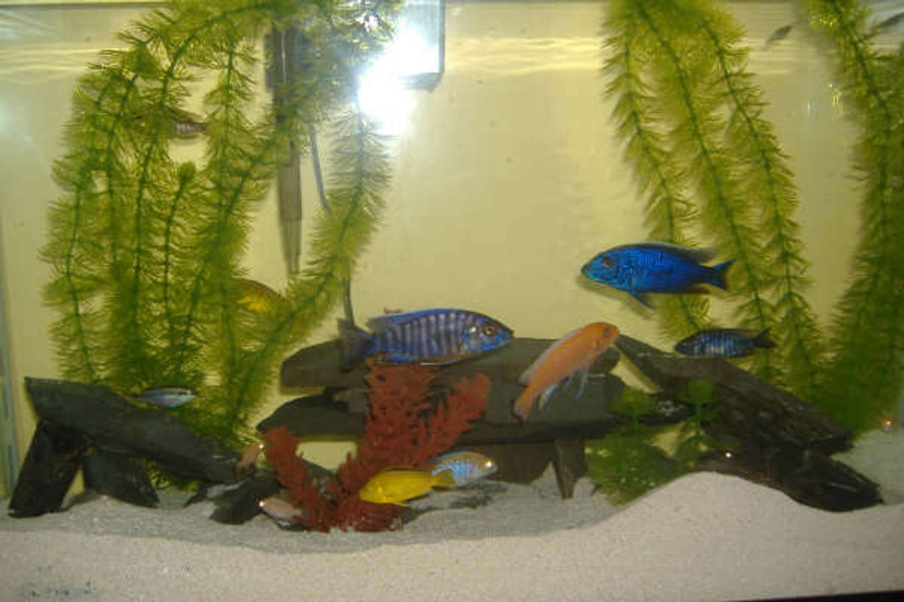 30 gallons freshwater fish tank (mostly fish and non-living decorations) - a variety of cichlids