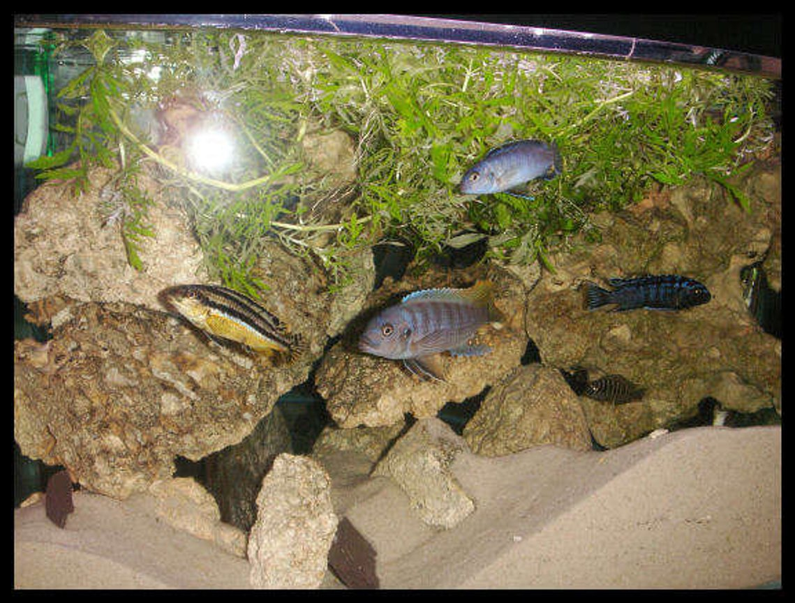 55 gallons freshwater fish tank (mostly fish and non-living decorations) - AFRICAN CICHLIDS 55 GALLON TANK