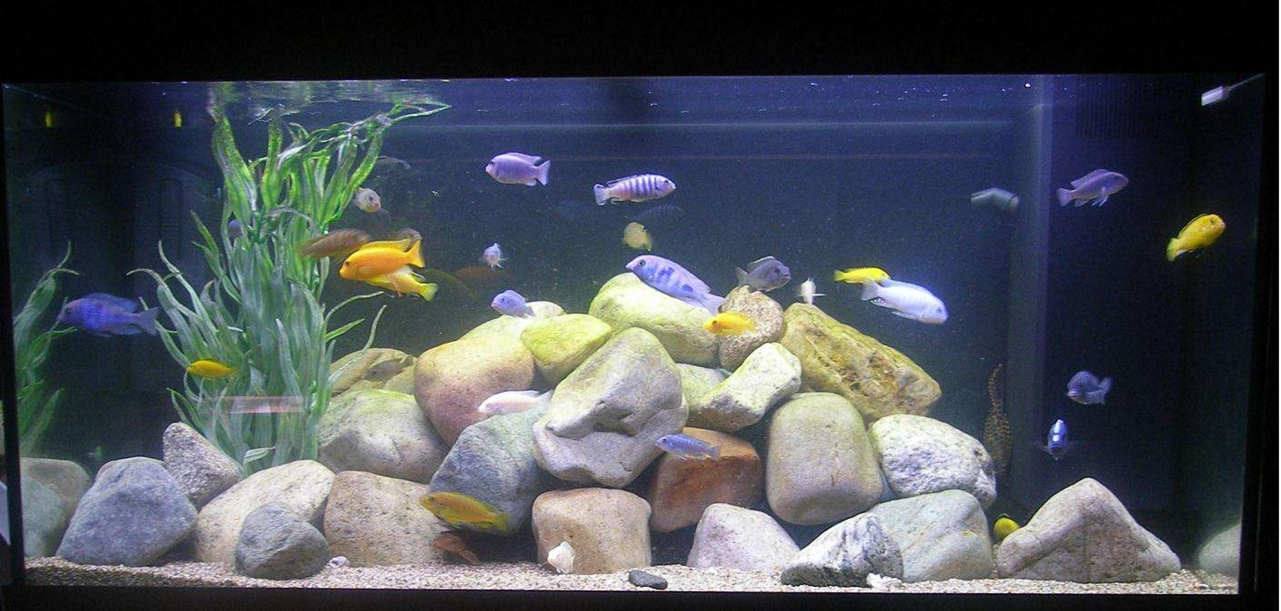 100 gallons freshwater fish tank (mostly fish and non-living decorations) - 100G Malawi Tank