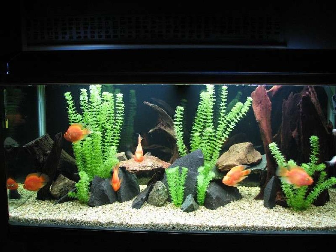 120 gallons freshwater fish tank (mostly fish and non-living decorations) - My Parrot tank