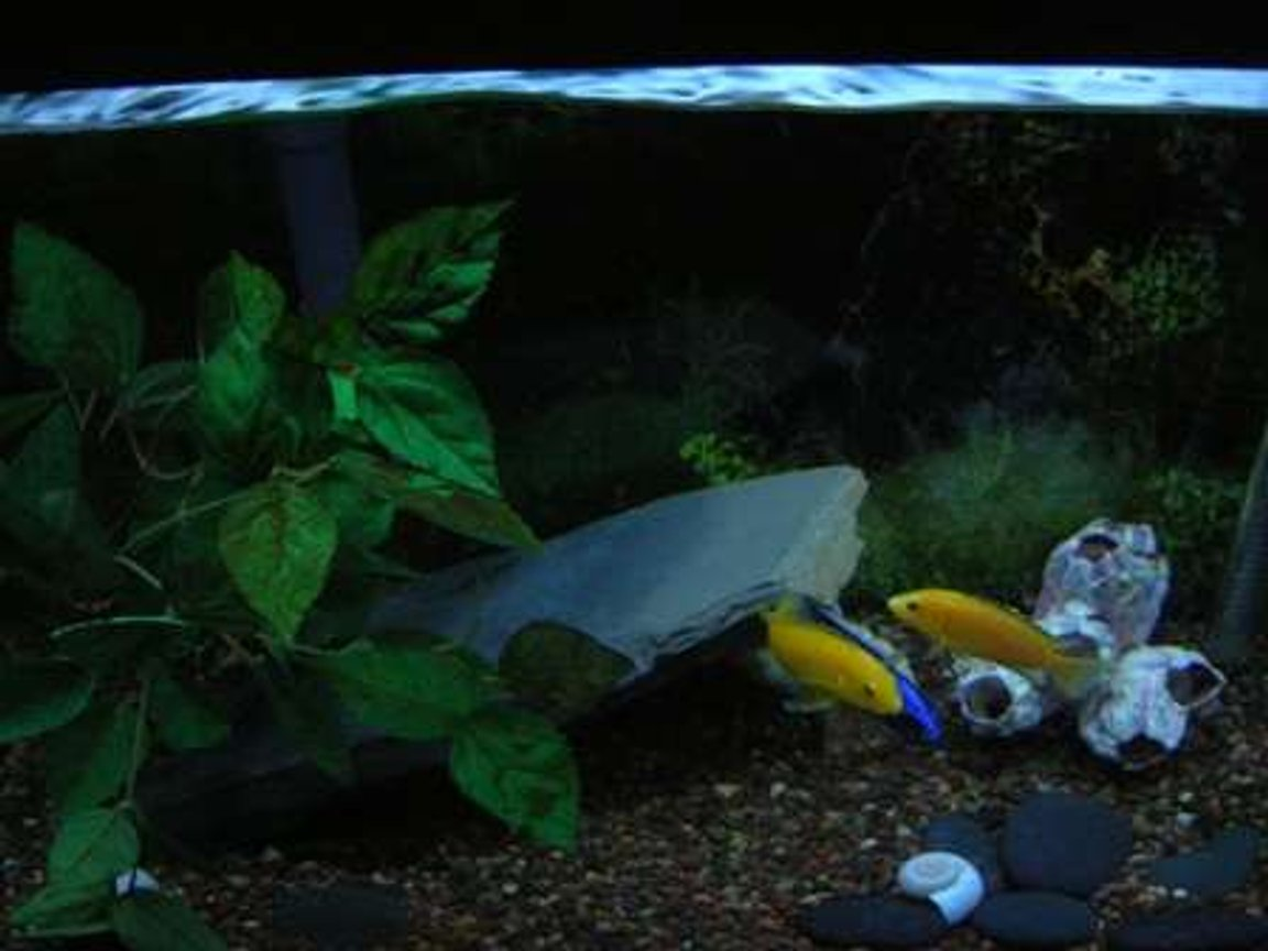 20 gallons freshwater fish tank (mostly fish and non-living decorations) - african cichlid tank