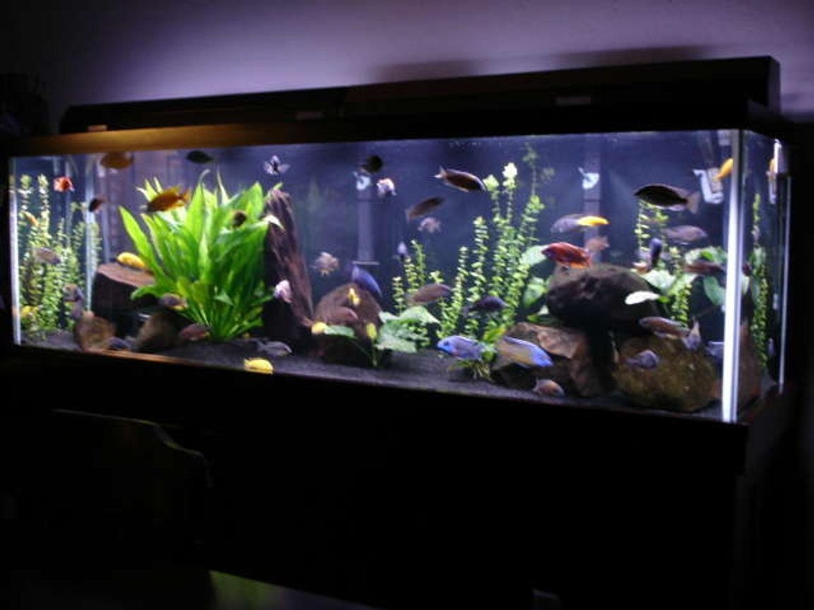 125 gallons freshwater fish tank (mostly fish and non-living decorations) - 125 gallon malawi mixed tank