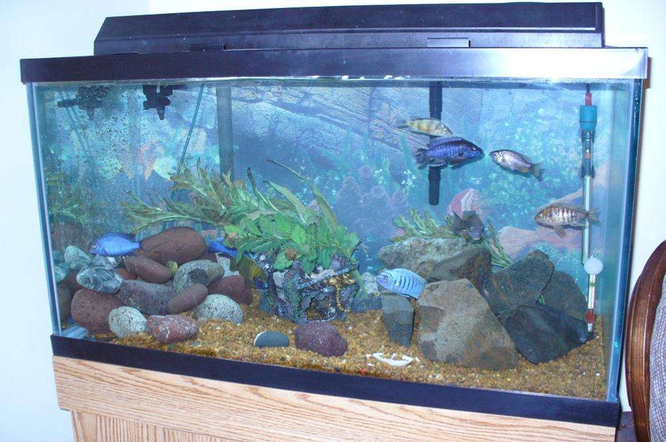 55 gallons freshwater fish tank (mostly fish and non-living decorations) - 55g african cichlids