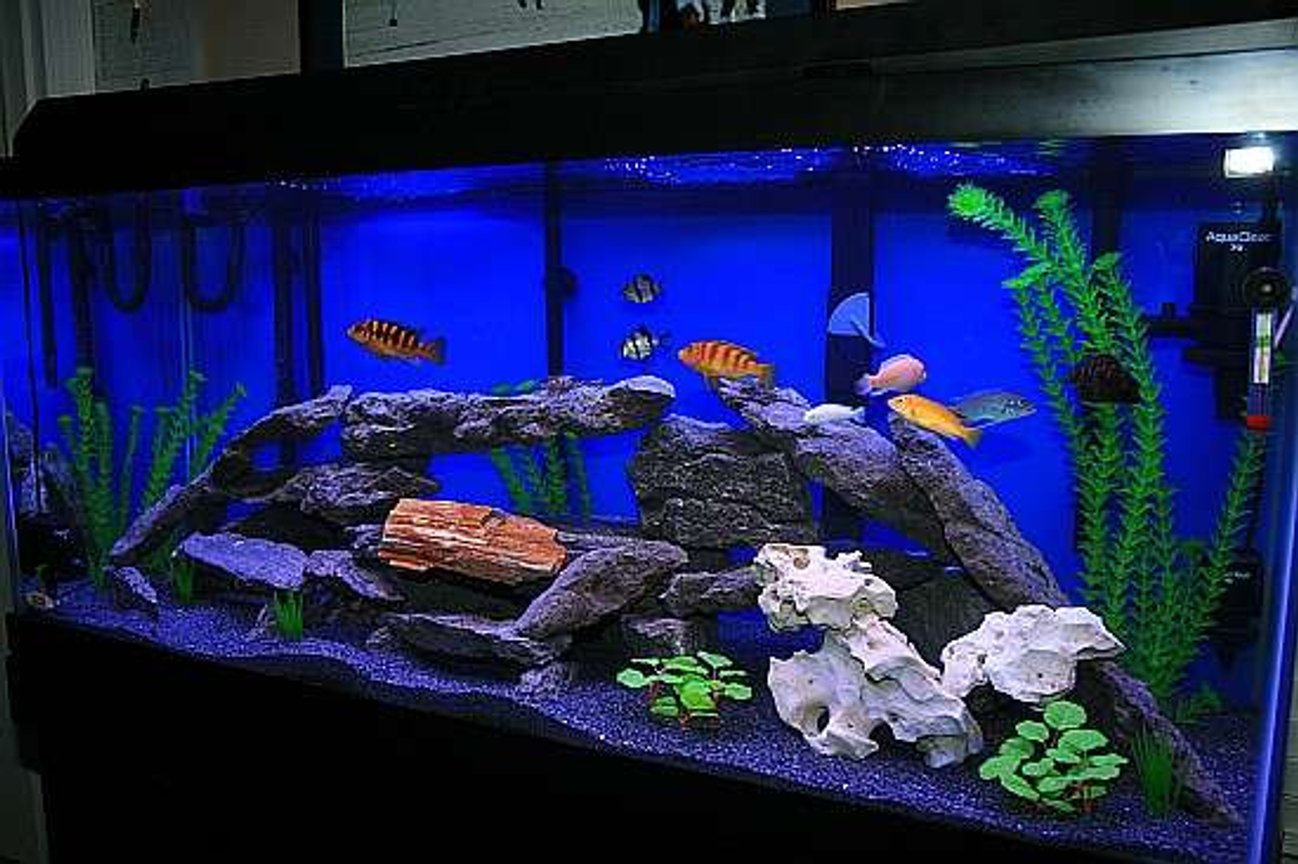 75 gallons freshwater fish tank (mostly fish and non-living decorations) - 75 Gal African Cichlid Tank Enjoy!!!