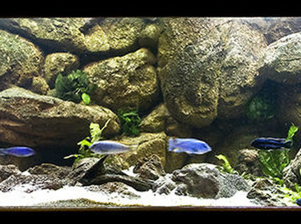 160 gallons freshwater fish tank (mostly fish and non-living decorations) - My Mbuna tank