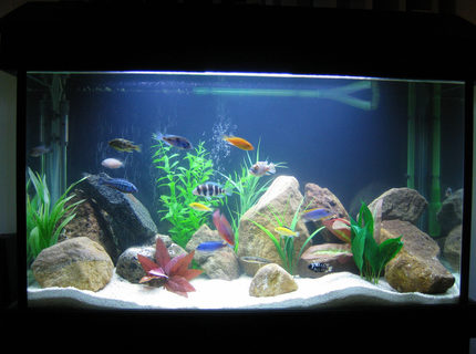 45 gallons freshwater fish tank (mostly fish and non-living decorations) - African Cichlid Tank