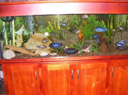 170 gallons freshwater fish tank (mostly fish and non-living decorations) - My cichlid tank. 6x2x2.
